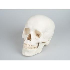 Craniu didactic din 3 părți