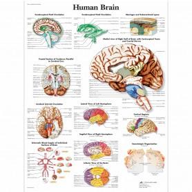 Poster creierul uman