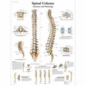 Poster coloana vertebrala